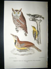 Alexander Wilson 1832 Hand Col Bird Print. Mattled Owl, Black & White Creeper